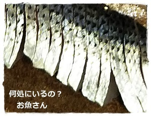 コノシロ刺身